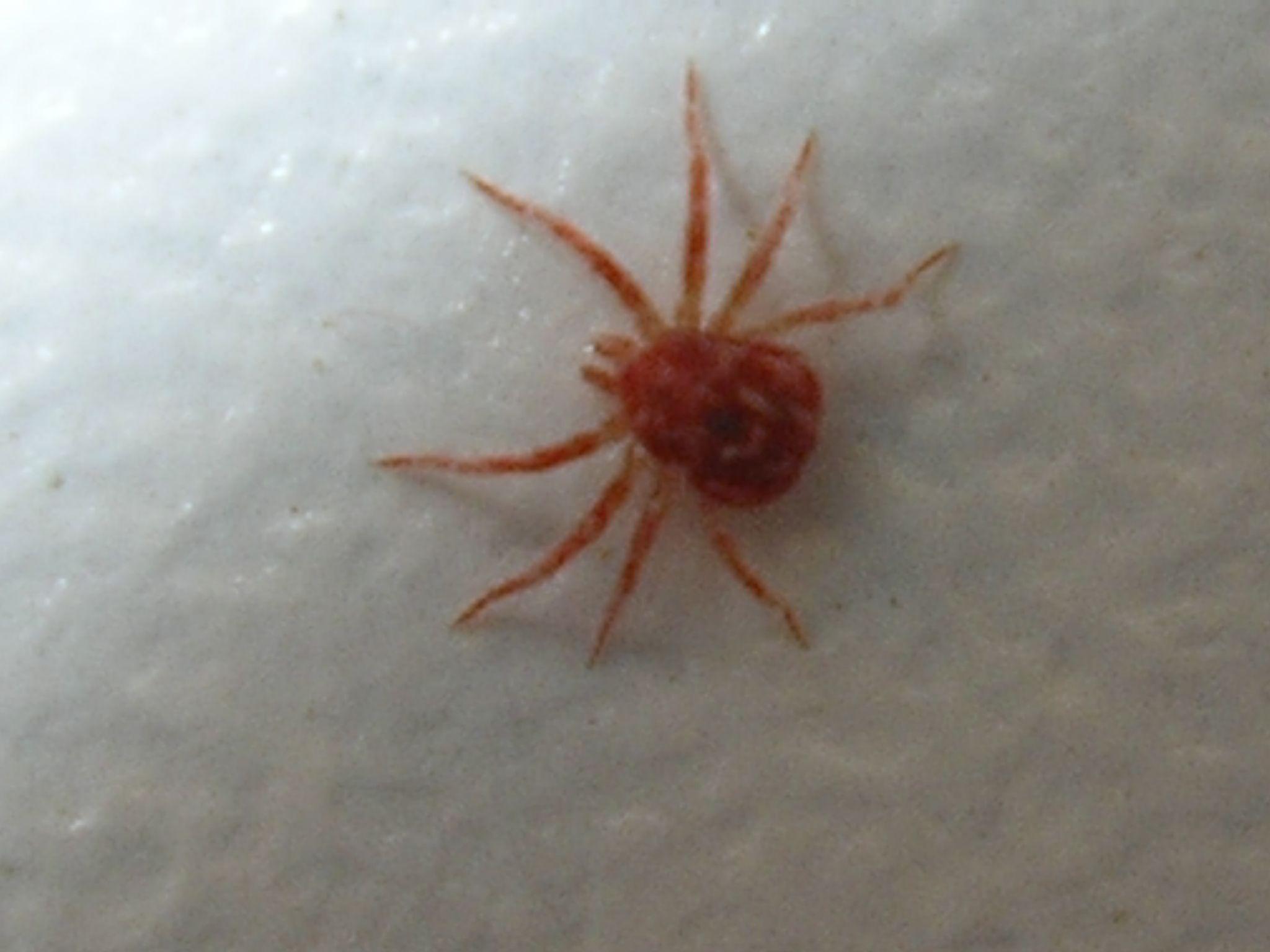 minuscule araign e rouge. Black Bedroom Furniture Sets. Home Design Ideas
